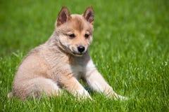 щенок лайки зеленого цвета травы Стоковая Фотография RF