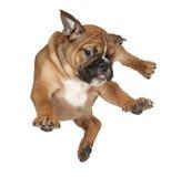 щенок летания боксера стоковое изображение rf
