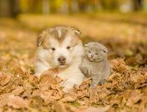 Щенок маламута и котенок младенца в осени паркуют Стоковые Изображения