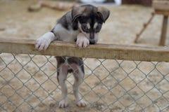 Щенок 2 месяца старой осиплой собаки стоковые фотографии rf