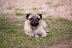 Щенок мопса лежа на траве с косточкой Стоковые Изображения RF