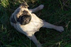 Щенок мопса сидя на траве outdoors Стоковые Фотографии RF