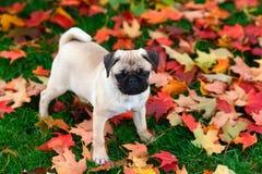 Щенок мопса стоя в красочных листьях осени в зеленой траве Стоковые Фото
