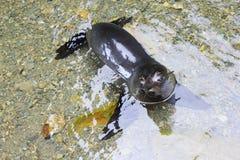 Щенок морского котика Новой Зеландии ослабляя в чистой воде Стоковое Изображение RF