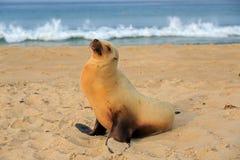 Щенок морсого льва имея остатки на пляже Hermosa Стоковые Фотографии RF