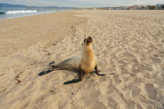 Щенок морсого льва имея остатки на пляже Hermosa Стоковое Фото