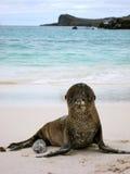 Щенок морсого льва на береге Esponala Стоковая Фотография RF