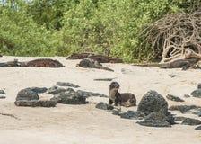 Щенок морсого льва стоковые изображения rf