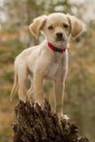 Щенок на пне дерева Стоковая Фотография