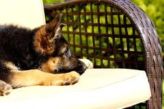 Щенок на стуле Стоковая Фотография RF