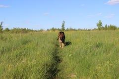 Щенок немецкой овчарки 10 месяцев Поле Стоковая Фотография