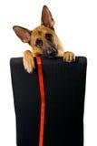 Щенок немецкой овчарки на изолированном стуле Стоковые Фото