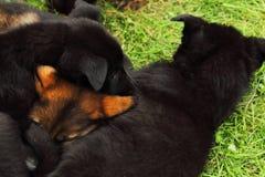 Щенок 2 немецкой овчарки стоковые фотографии rf