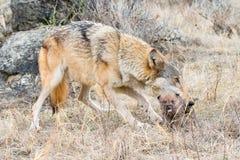 Щенок нося мамы волка тимберса ртом Стоковое Фото