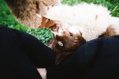 Щенок Ньюфаундленда Стоковые Изображения