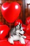 Щенок дня ` s валентинки осиплый на предпосылке текстуры Стоковые Изображения RF