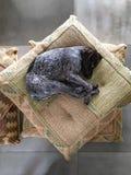 Щенок отдыхая на валиках, немецкое braco Стоковая Фотография RF