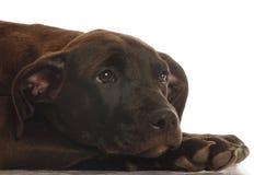 щенок перекрестной лаборатории breed смешанный Стоковая Фотография RF