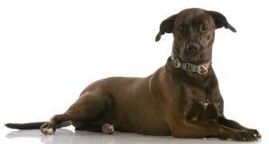 щенок перекрестной лаборатории breed смешанный Стоковое Изображение RF