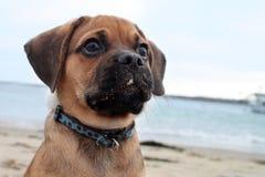 щенок пляжа Стоковые Фото
