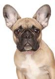 щенок портрета бульдога близкий французский вверх Стоковое фото RF