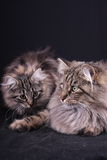 щенок портрета кота женский норвежский Стоковые Фото