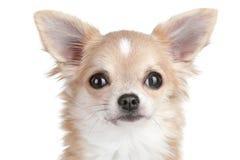 щенок портрета чихуахуа близкий вверх Стоковые Изображения RF