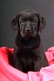 щенок портрета labrador Стоковое Изображение