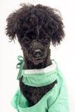 щенок портрета scrubs Стоковые Фото