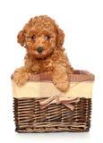 Щенок пуделя в корзине Стоковая Фотография