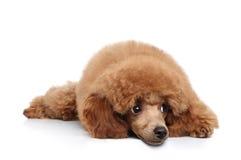 щенок пуделя знамени Стоковые Изображения RF