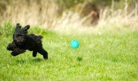 Щенок пуделя игрушки играя шарик. Стоковое Изображение