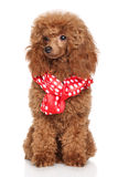 Щенок пуделя в шарфе Стоковое Фото