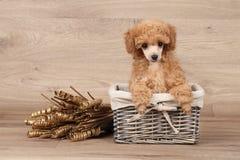 Щенок пуделя игрушки в корзине Стоковое Изображение