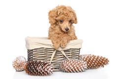 Щенок пуделя игрушки в корзине Стоковые Изображения RF