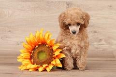 Щенок пуделя игрушки с солнцецветом Стоковая Фотография RF