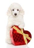 Щенок пуделя с сердцем валентинки Стоковое Изображение