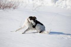 Щенок русской гончей идя в сельскую местность зимы Стоковые Фото
