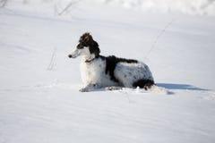 Щенок русской гончей идя в сельскую местность зимы стоковое изображение