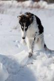 Щенок русской гончей идя в сельскую местность зимы Стоковая Фотография