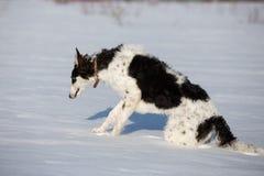 Щенок русской гончей идя в сельскую местность зимы Стоковые Изображения RF