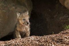 Щенок серого волка (волчанки волка) засовывает голову из вертепа Стоковое Изображение