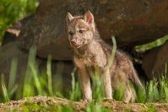Щенок серого волка (волчанки волка) стоит перед вертепом Стоковое Фото