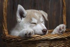 Щенок сибирской лайки в корзине на деревянной предпосылке стоковое фото rf