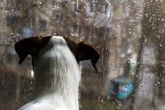 Щенок смотря вне окно, вне дождя Стоковое фото RF