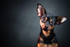 Щенок, собака, портрет терьера игрушки Стоковое фото RF