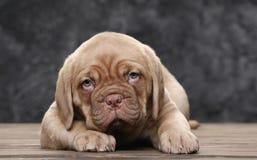 Щенок собаки Бордо на предпосылке деревянных доск Стоковые Фотографии RF