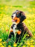 Щенок собаки горы Bernese (Berner Sennenhund) стоковые фотографии rf