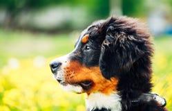 Щенок собаки горы Bernese (Berner Sennenhund) Стоковые Изображения