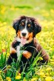 Щенок собаки горы Bernese (Berner Sennenhund) стоковое изображение rf